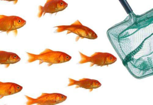 金魚をやさしくネットで移動する