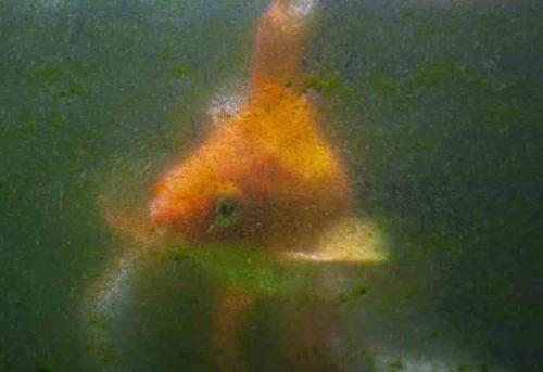 金魚の水槽掃除、コケ